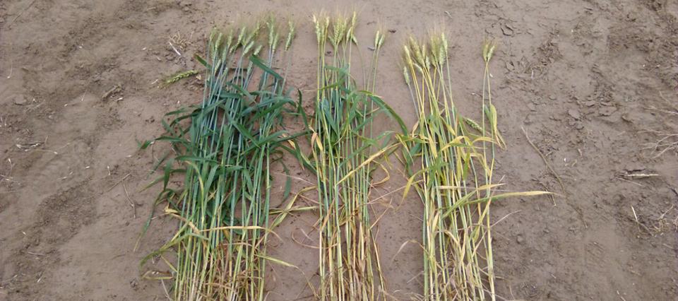 Afirman que la diferencia entre fertilizar bien y hacerlo mal puede ser de 7.000 kg/ha