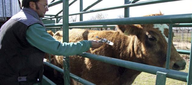 Extenderán hasta fines de enero la vacunación contra la aftosa en Misiones