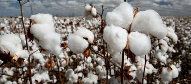 Ya se inscribió la primera entidad de cultivo del algodón en el Registro de Entes Sanitarios