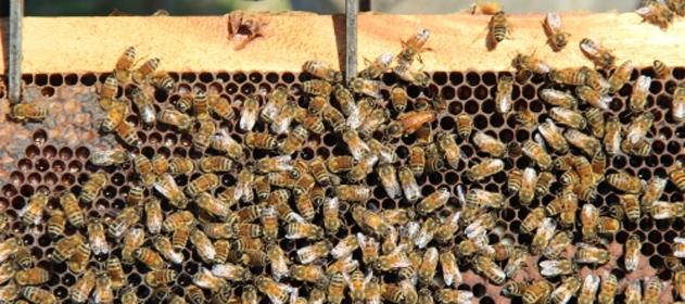 Financiarán proyectos de apicultores bonaerenses