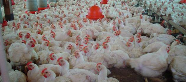 avicultura-631x280-280-631-556
