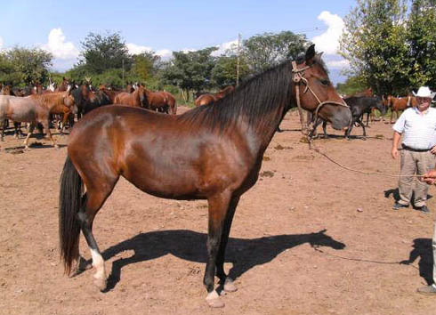 caballos-peruanos-de-paso-490x354-354-490-8938