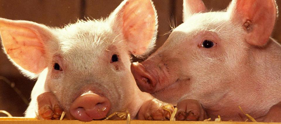 Las importaciones de carne porcina ya crecieron 173% en dos años