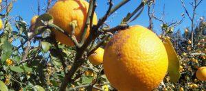 citricos-helada-10-960x426-426-960-5074