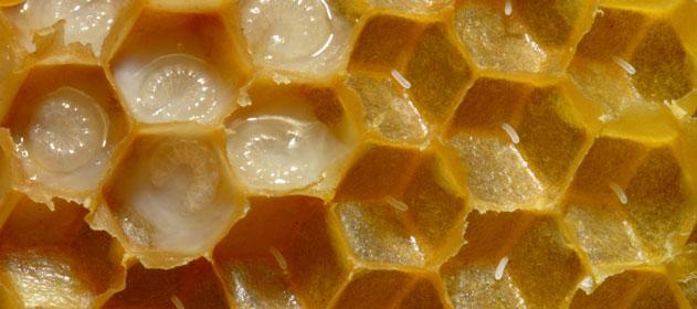 Recomiendan a los apícolas monitorear sus colmenas para prevenir daños por varroosis