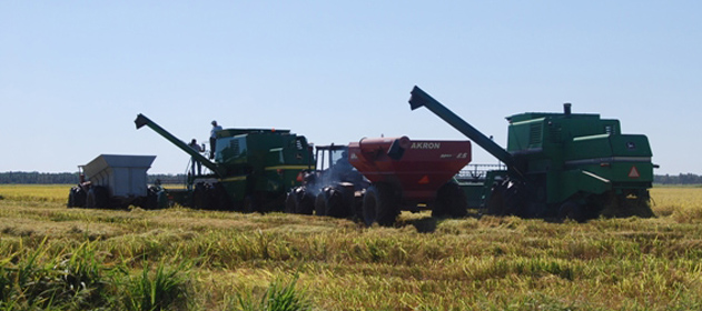 La producción de arroz sigue cayendo en Santa Fe