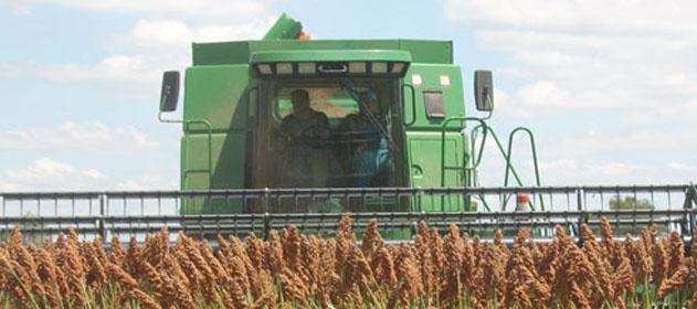 Con el 86,1 % del área de sorgo cosechada, se estiman caídas de rinde de 0,8 qq/ha