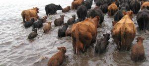 ganado-inundaciones
