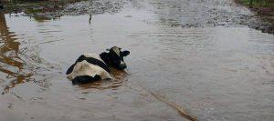 inundaciones-vaca-holando-960-426-960-24170
