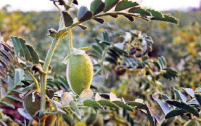 legumbres-cultivo-garbanzo-960-426-960-25399