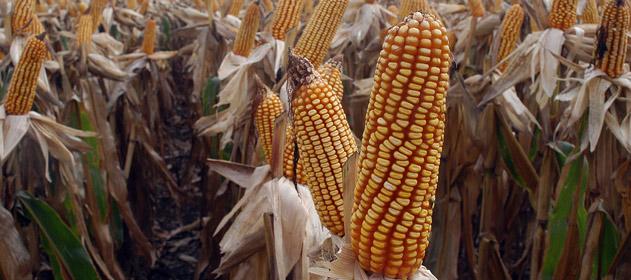 La cosecha de maíz avanza con rendimientos superiores a 95 qq/ha