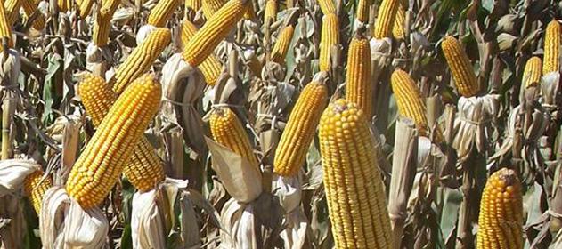 Estiman un descenso de 0,6 qq en el rendimiento de maíz para esta campaña
