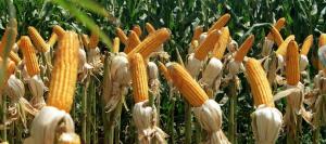 maiz-resistente-631-x-280-280-631-4297