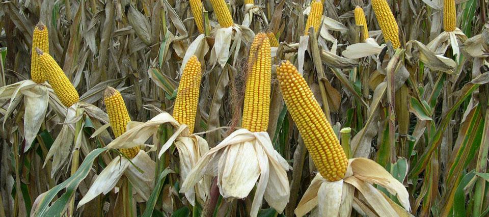 El rinde promedio de maíz cayó 0,5 qq/ha y se ubica en 86,3 qq/ha