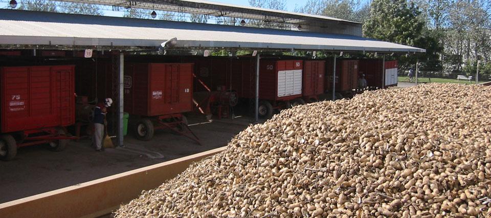 Distribuyen 3.650 toneladas del cupo de pasta de maní para exportar a Estados Unidos