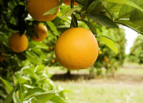 naranjas-490-354-490-16940