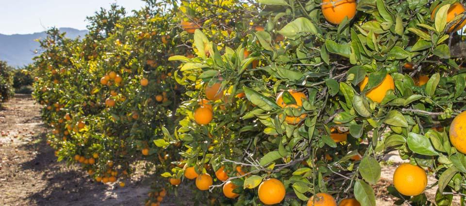 naranjas-960-426-960-26135
