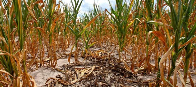 Calentamiento Global: los maíces producen menos aceite por golpes de calor