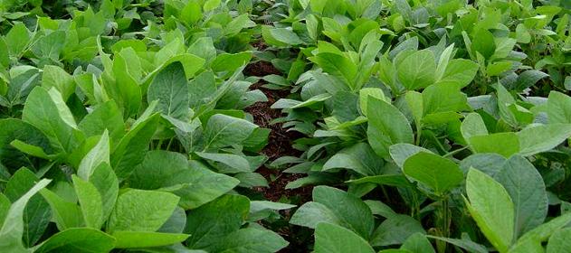 Confirman la proyección de producción de 54.800.000 de toneladas de soja