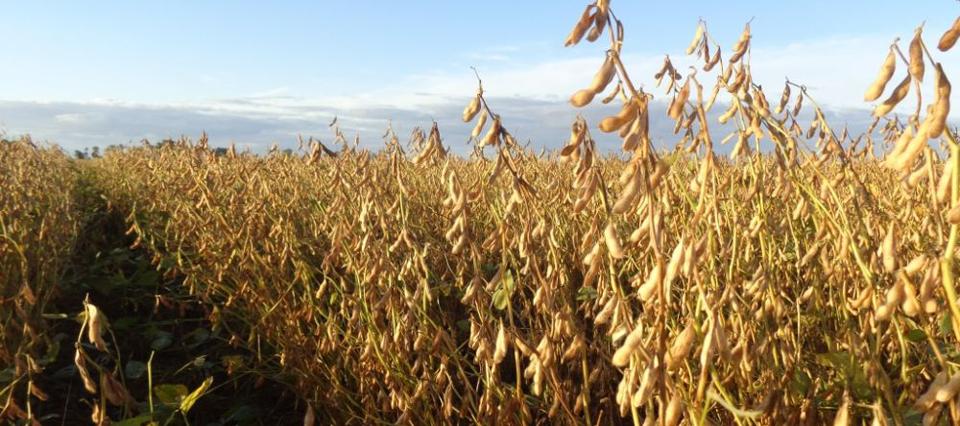 El USDA proyecta un nuevo récord de producción de soja en EE.UU.