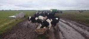 tambo-inundaciones-vacas-960-leandro-alassia-426-960-24017