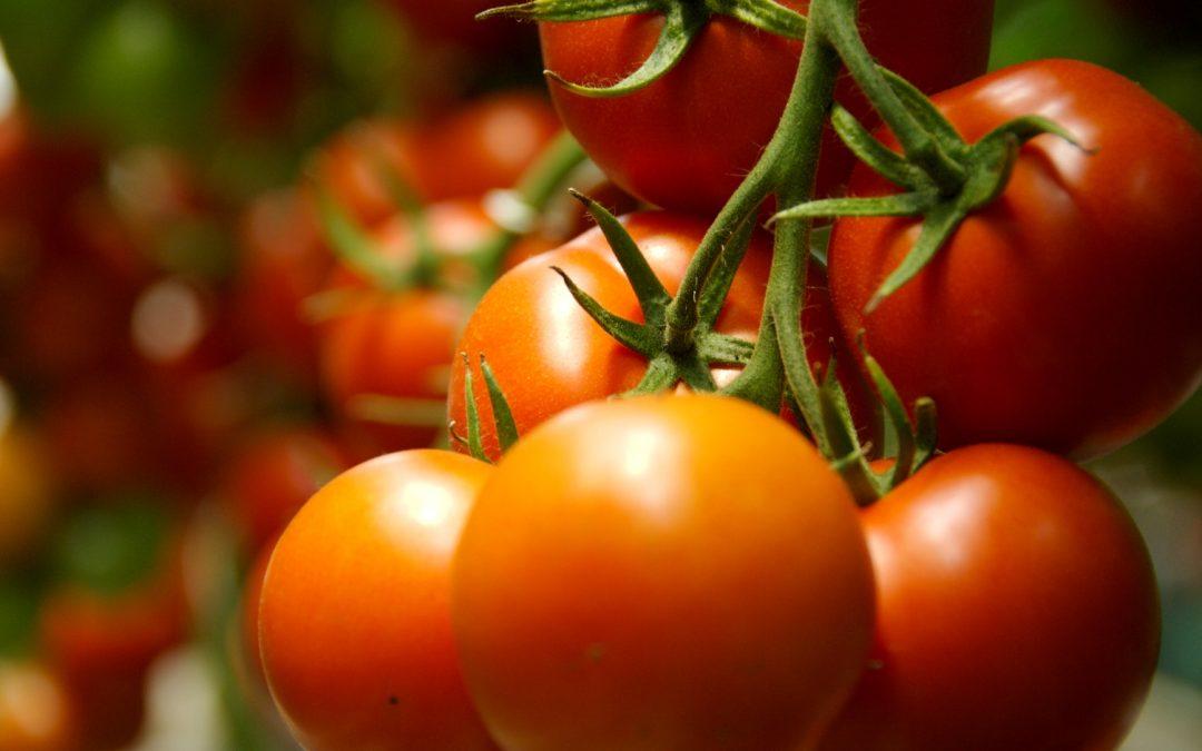 Fertilizar con nitrato de calcio reduce en un 14% el rajado del tomate