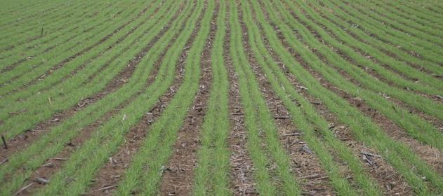 110 mil hectáreas trigueras están en jaque por las lluvias