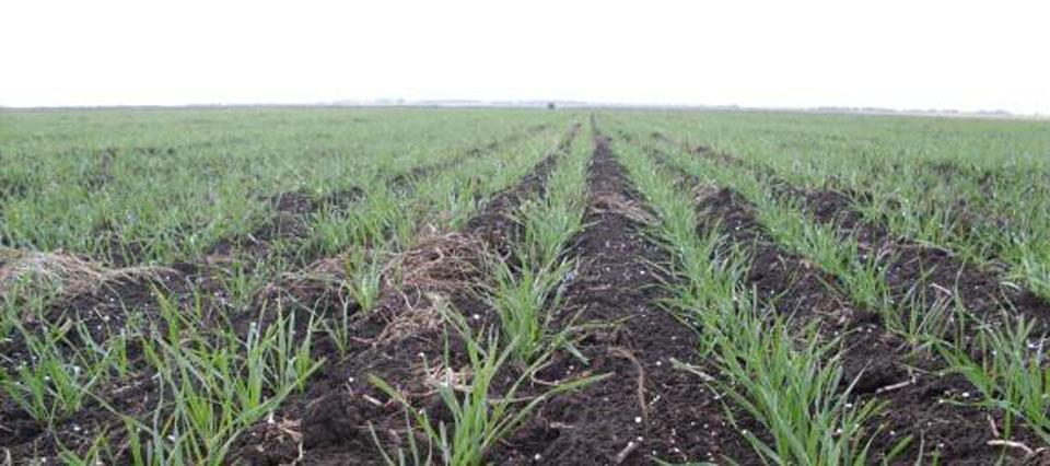 Las lluvias ponen en riesgo la siembra de trigo