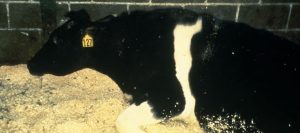 vaca-loca-631-280-631-14473