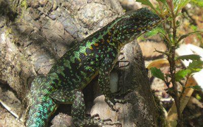 El calentamiento global podría ser letal para una especie de lagarto patagónico