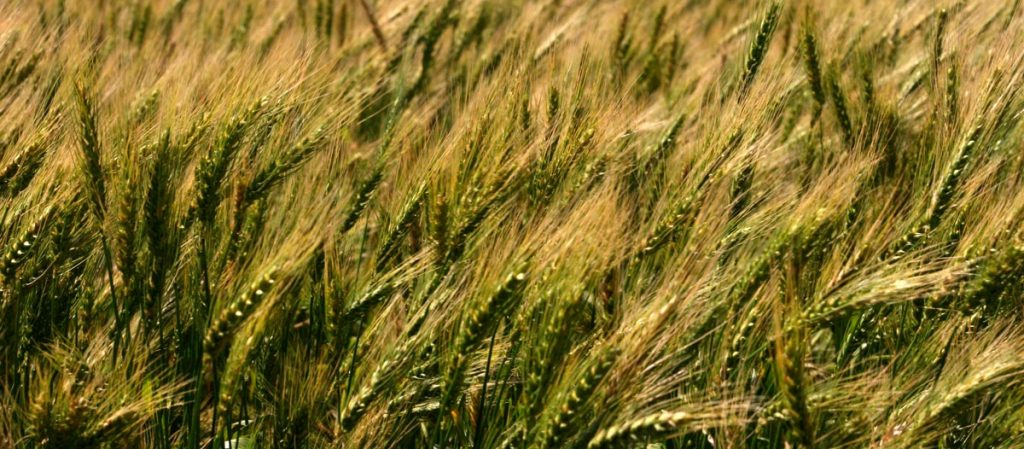 trigo-rindes