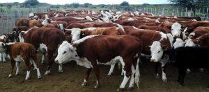 ganado-bovino