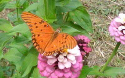 Mariposas: polinizadoras que multiplican la biodiversidad