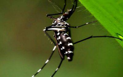 """Identificaron en la Argentina un subtipo africano del mosquito del dengue que sería """"más peligroso"""""""
