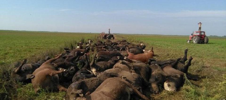 Infocampo Encontraron muertas a unas 200 vacas en un campo de La ... 1cbaff34017