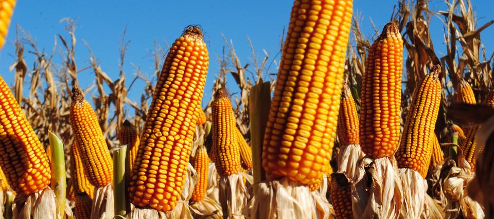 La cosecha de maíz está a punto de finalizar con una producción de  39.000.000 toneladas