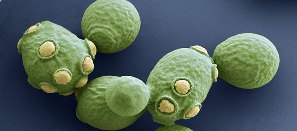 saccharomyces-levadura-960