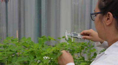 Desarrollan tecnología para determinar si un cultivar de maní resiste a la sequía