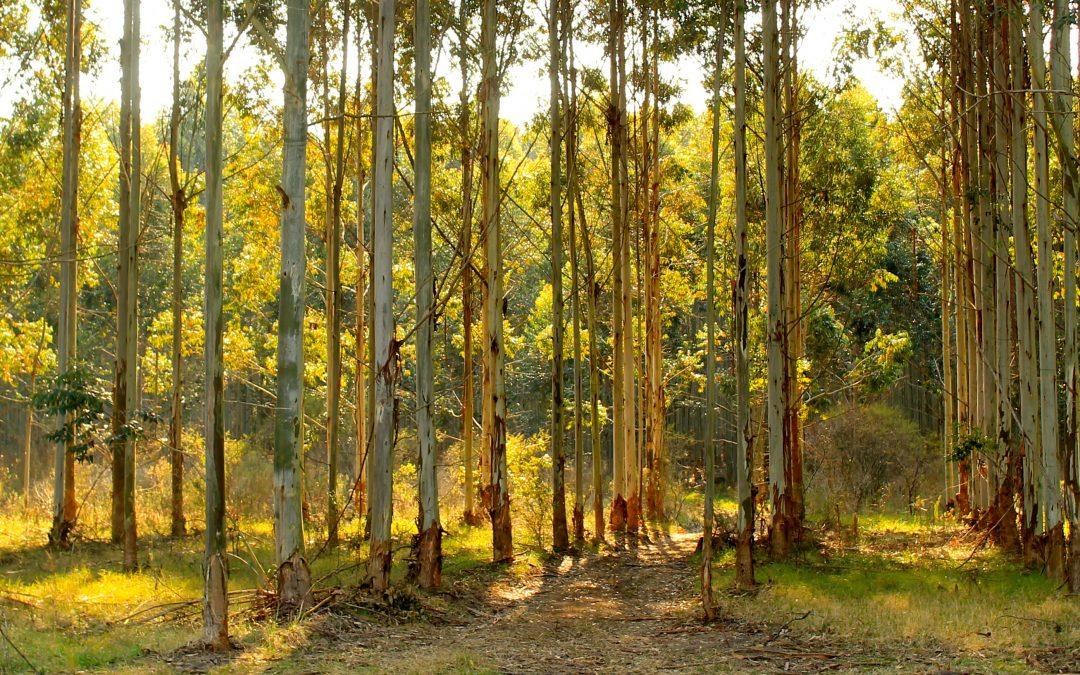 Logran frenar la tala de árboles exóticos en Capilla del Monte