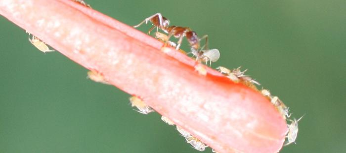 Plagas: caracterizan la mejor manera de que las hormigas no coman plantas