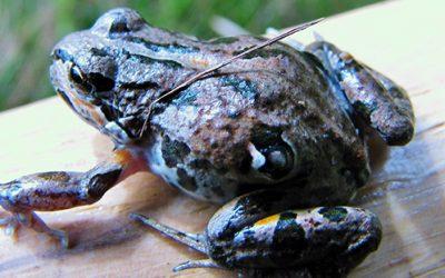 Descubren un posible antibiótico en la piel de una rana patagónica