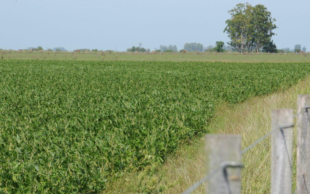 La soja se encuentra en buen estado en la mayor parte del territorio nacional