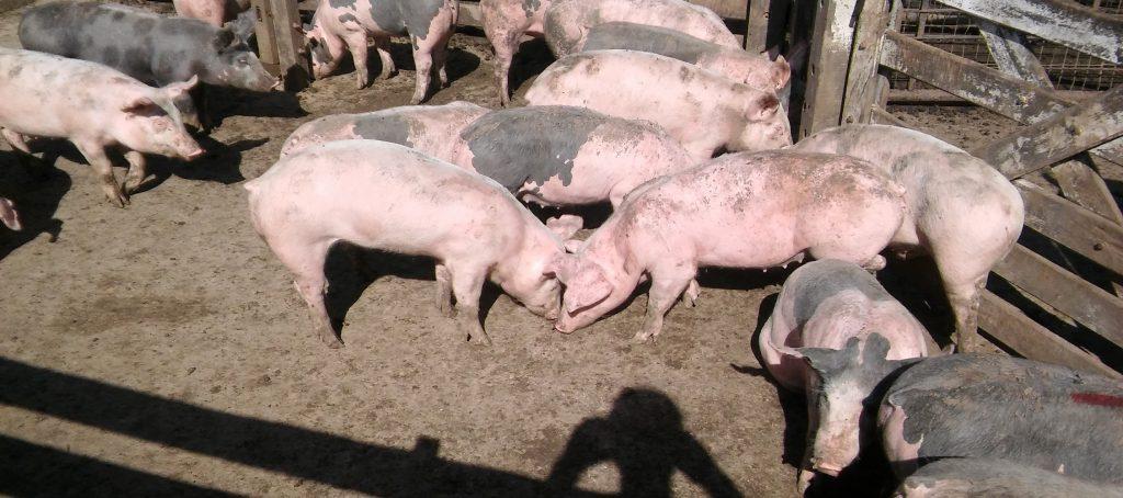 cerdos porcinos