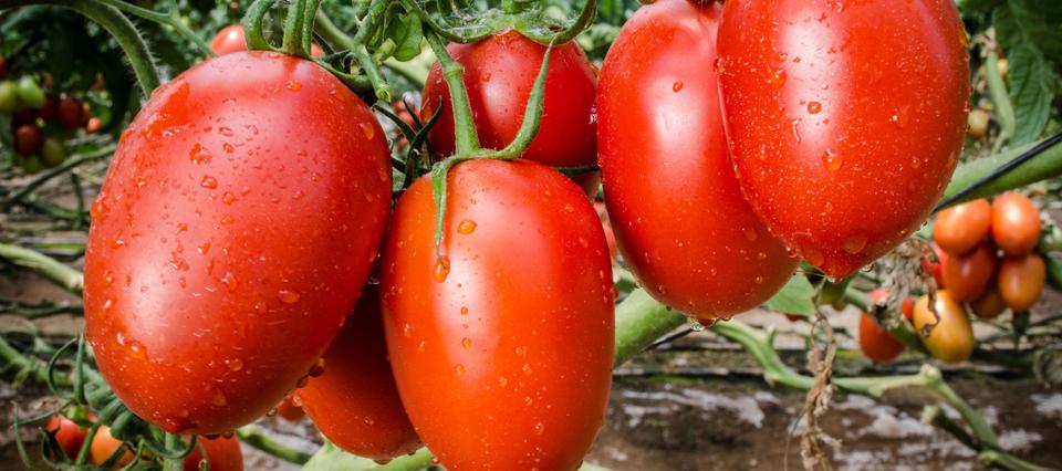 productores cultivan semillas caseras de tomate con abono natural en misiones