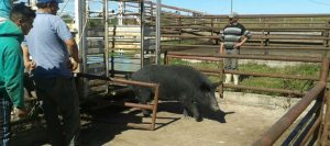cerdo 960