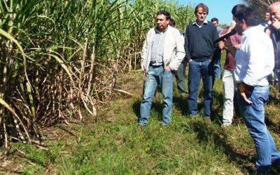 caña de azucar misiones ifai productores