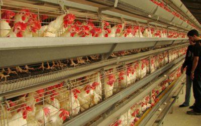 avicolas pollos