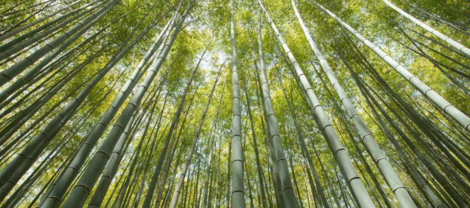Infocampo bamb el cultivo olvidado por la argentina que posee m ltiples y sorprendentes usos - Cultivo del bambu ...