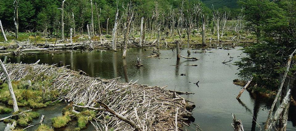 """Castores: la """"plaga"""" que corta el flujo de los ríos con casi 70.000 diques construidos"""