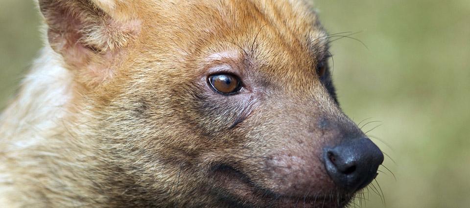 Fotografiaron a una especie exótica de un zorro en peligro de extinción